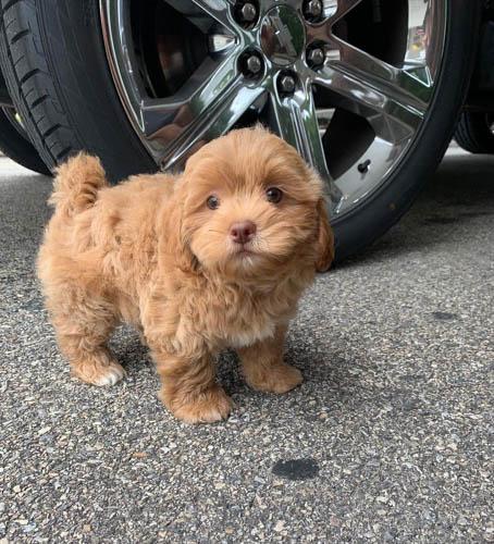 adopt-shihpoo-4