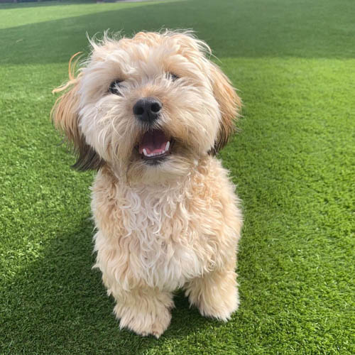 adopt-shihpoo