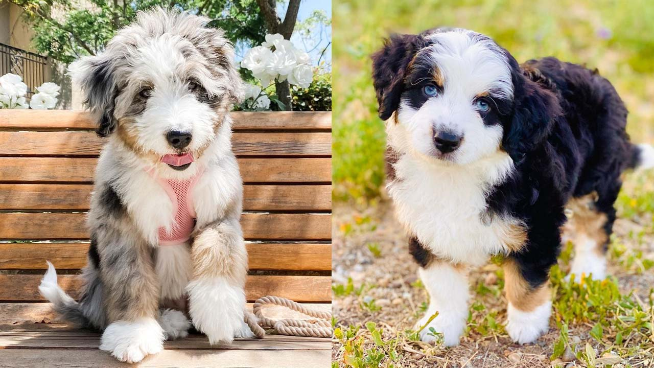 Where to Adopt Aussiedoodle Puppies