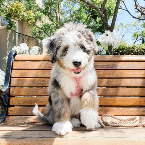 Aussiedoodle-dog-breed-3
