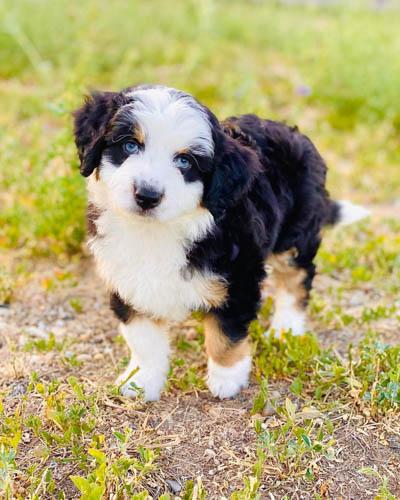 Aussiedoodle-dog-breed-5