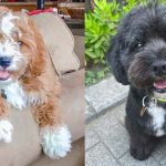 Cavadoodle-dog-breed-2