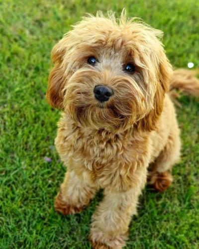 Cavadoodle-dog-breed-3