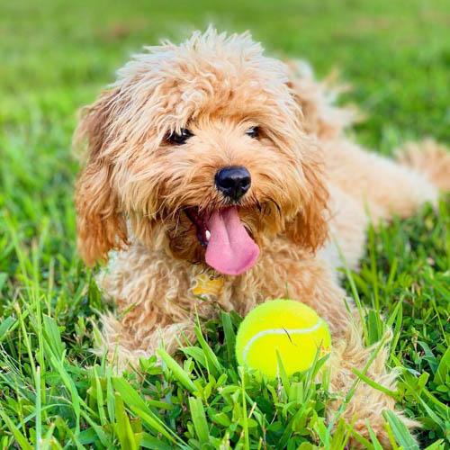 Cavadoodle-dog-breed-5