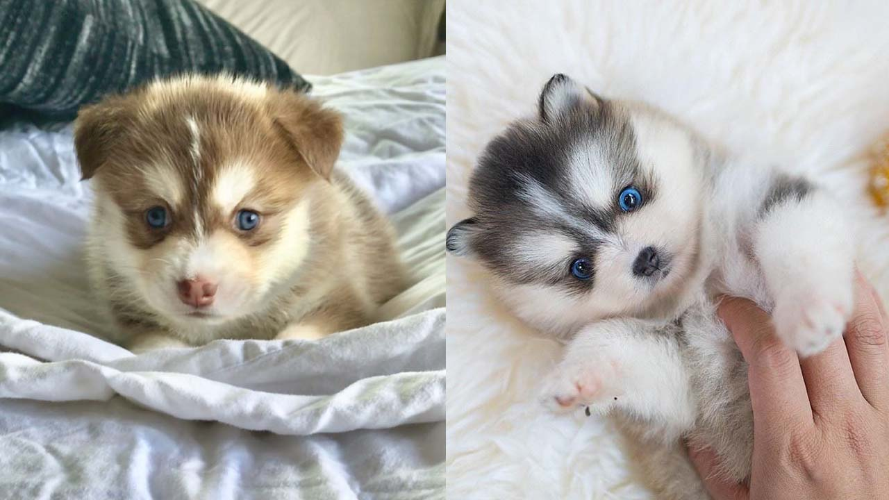 Where to Adopt Pomsky Puppies