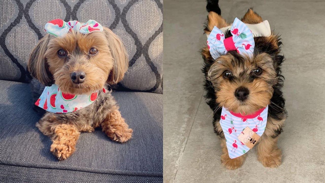 Where To Adopt Yorkiepoo Puppies
