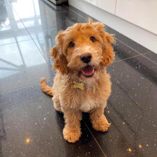 cockapoo-dog-breed-6