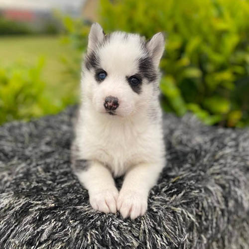 pomsky-dog-breed-2