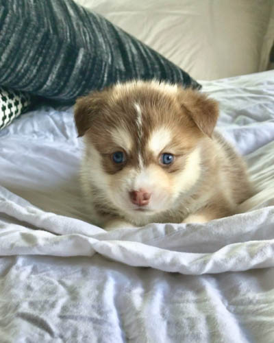 pomsky-dog-breed-3