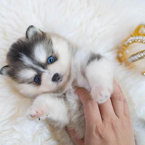 pomsky-dog-breed-4