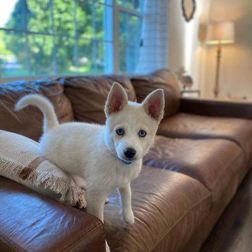 pomsky-dog-breed-5