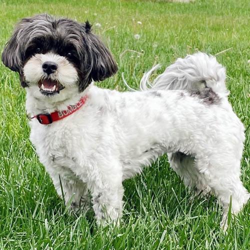 shichon-dog-breed-2