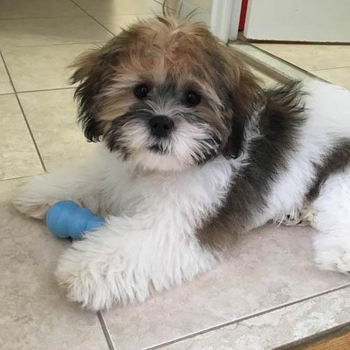 shichon-dog-breed-3