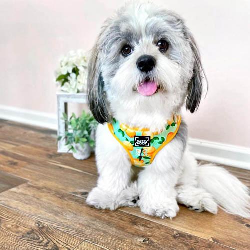 shichon-dog-breed-4
