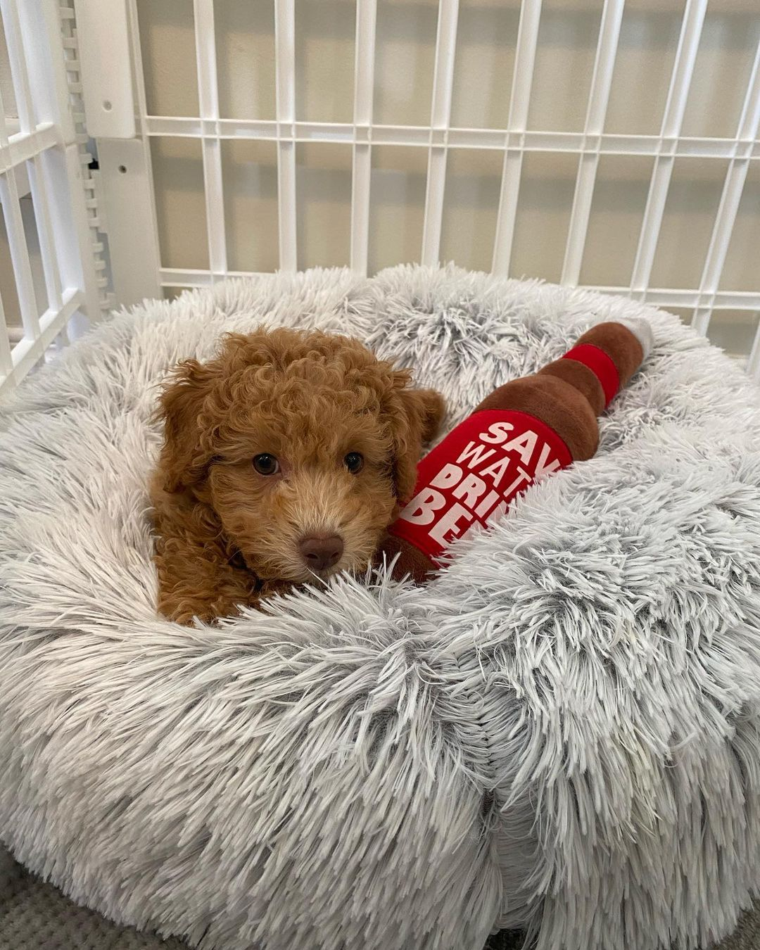 Rehoming lovely Maltipoo puppies