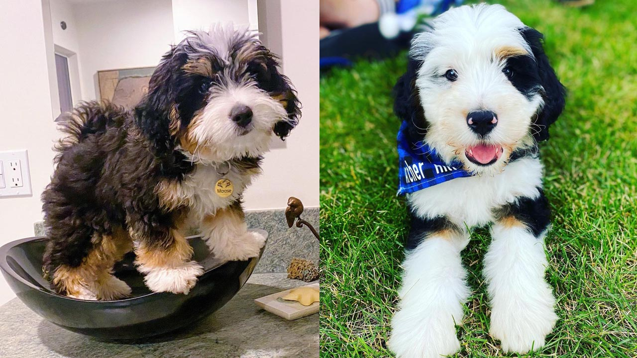 Where to Adopt Bernedoodle Puppies?