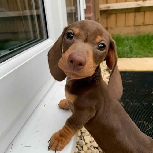 adopt-dachshund-puppies-2