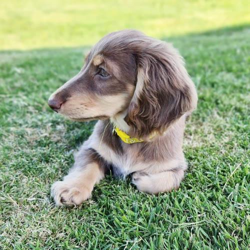 adopt-dachshund-puppies-3
