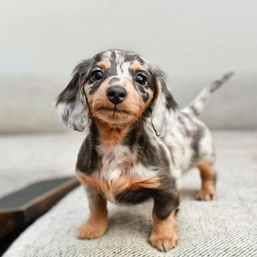 adopt-dachshund-puppies