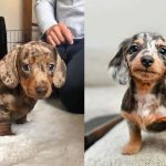 adopt-dachshunds-puppies