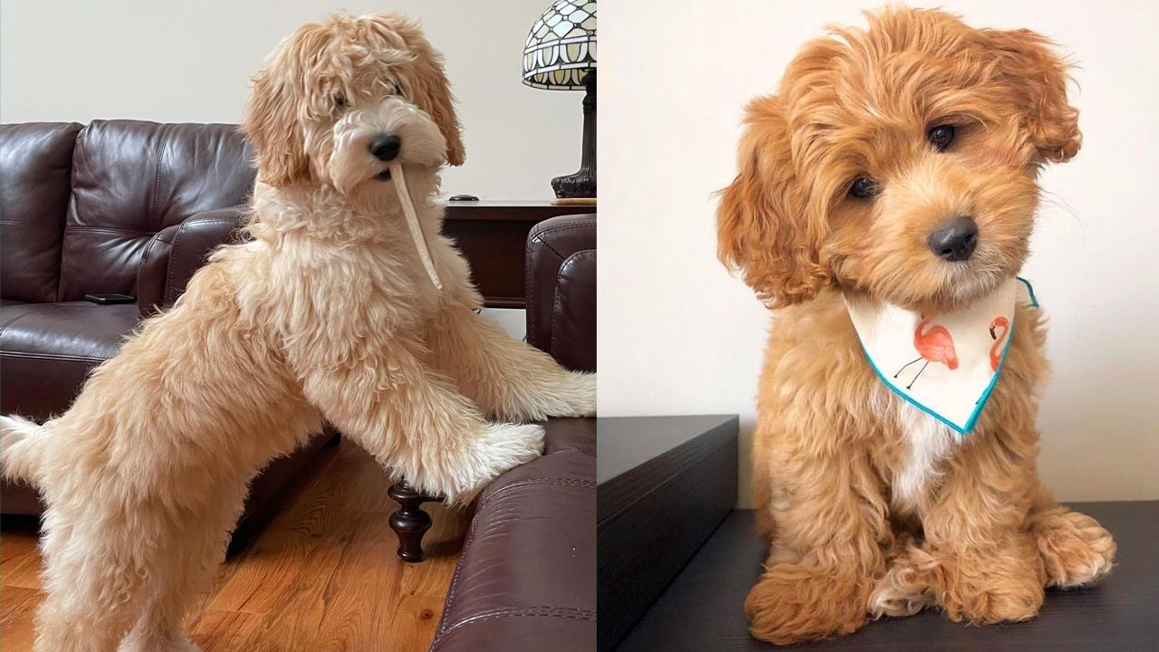 Where to Adopt a Goldendoodle Puppy?
