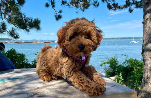 adopt-goldendoodle-dogs-3