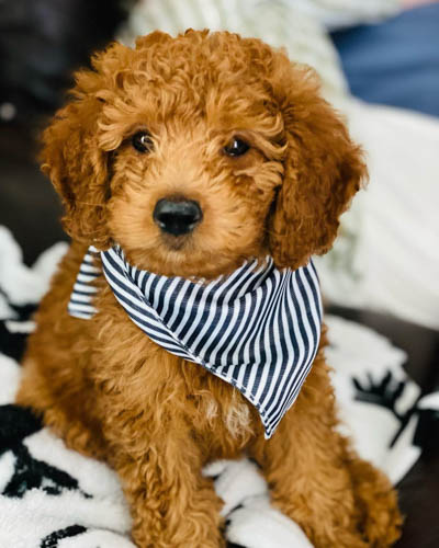 adopt-goldendoodle-dogs-4