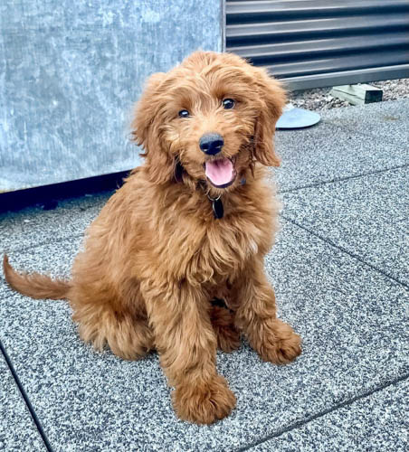 adopt-goldendoodle-dogs