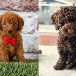 mini-labradoodle-dog-breed