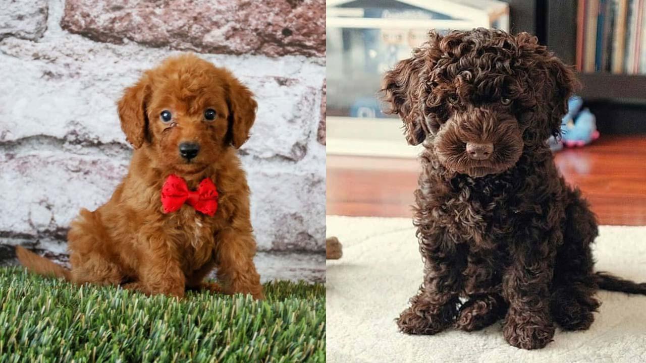Where to Adopt Mini Labradoodle Puppies?