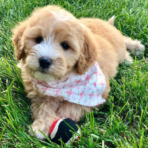 mini-labradoodle-dog-breed-2