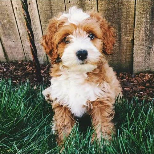 mini-labradoodle-dog-breed-3