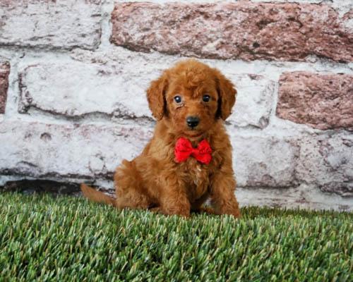 mini-labradoodle-dog-breed-4