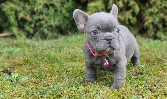 Purebred AKC French Bulldog Puppies Available