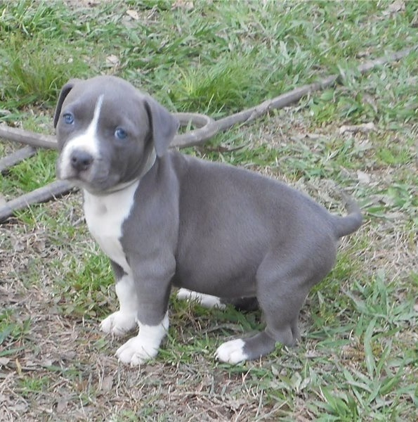 Beautiful males and female American Staffordshire Terrier puppies,