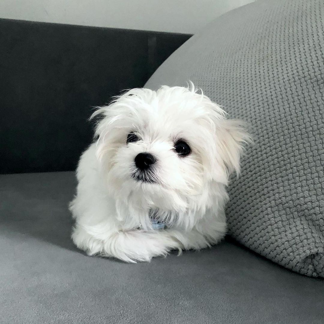 Gorgeous male and female Maltese Puppies.