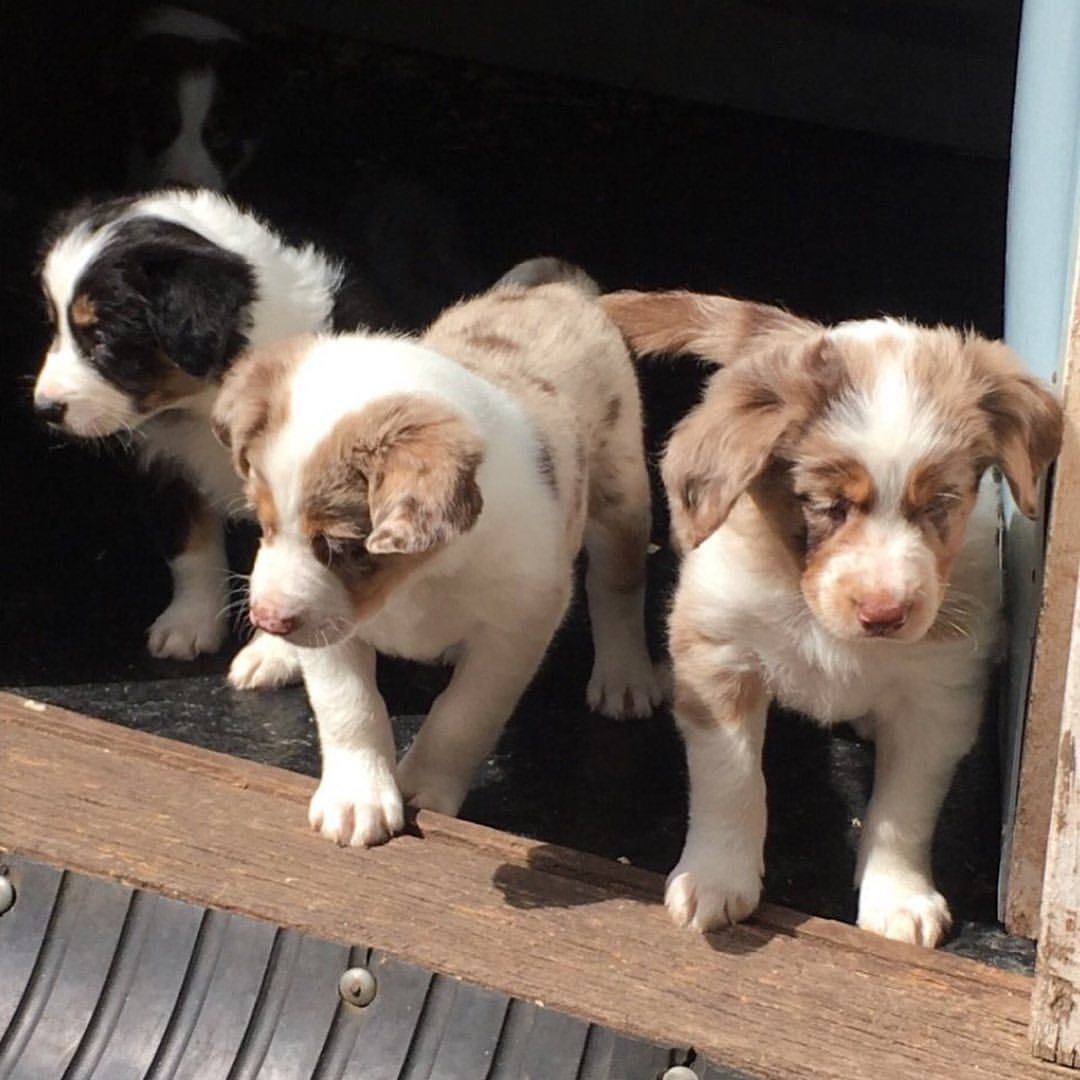Lovely Border collie puppies available