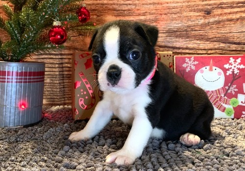 Affectionate Boston Terrier puppies available