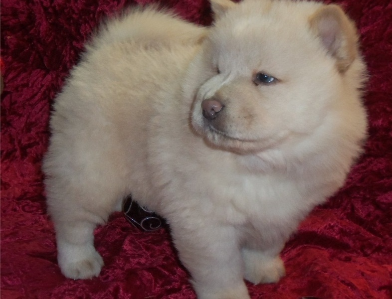Gorgeous Chow Chow Puppies.