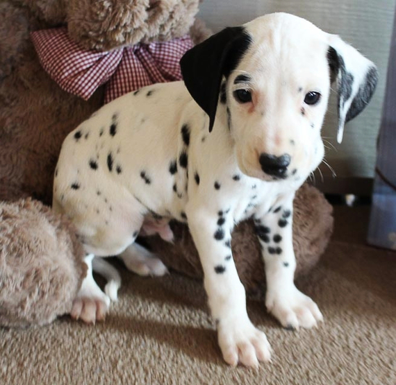 Male and female Dalmatian puppies available