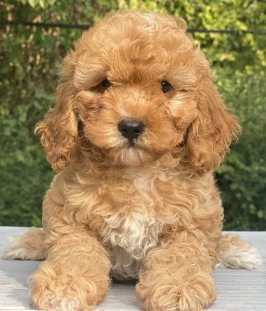 Two Cavapoo puppies for adoption.