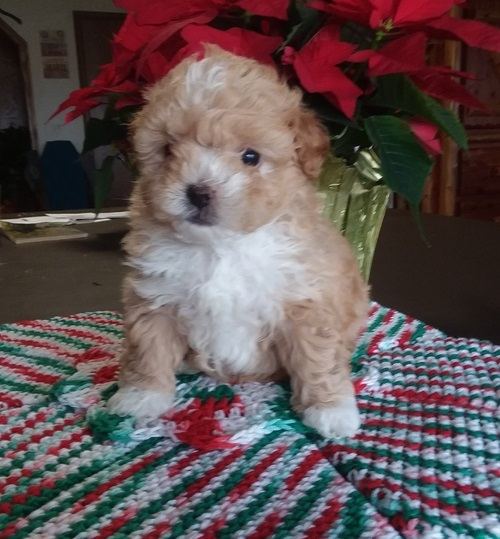 AKC mini Poodle puppies available now