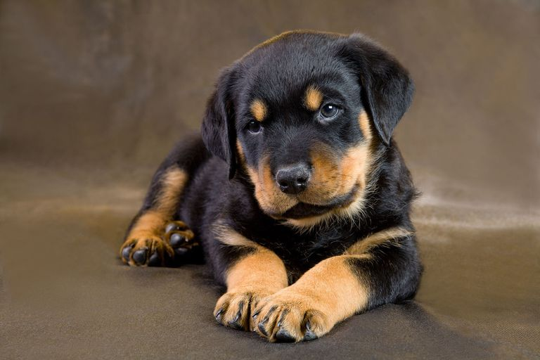 Cute and lovely male and female Rottweiler puppies