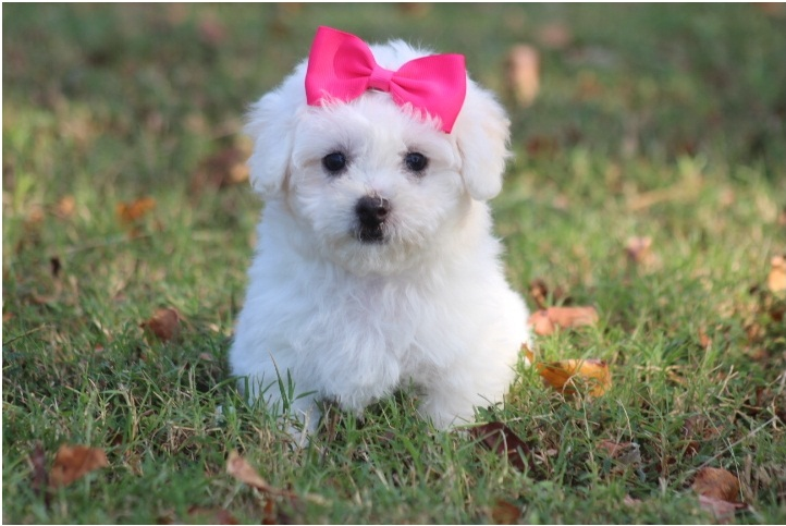 We are offering our 2 Bichon Frise puppies for adoption.