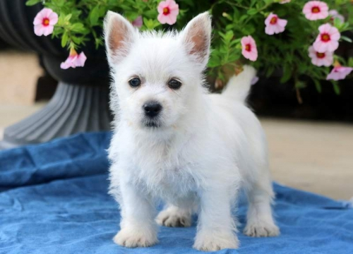 Lovely West Highland White Terrier puppies.