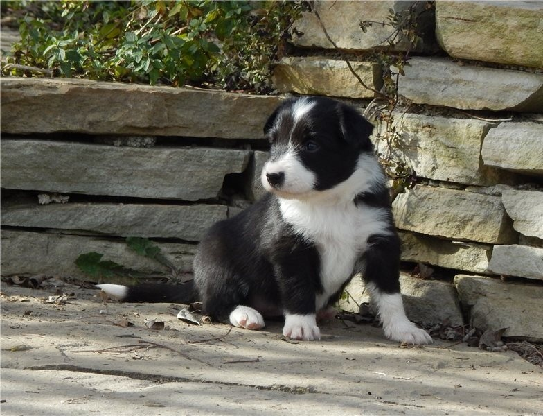 Gorgeous Border Collie puppies available