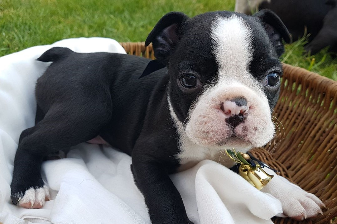 I have a male and a female Boston Terrier puppies available
