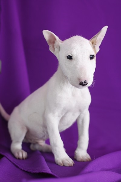 Healthy Male and Female Bull terrier puppies