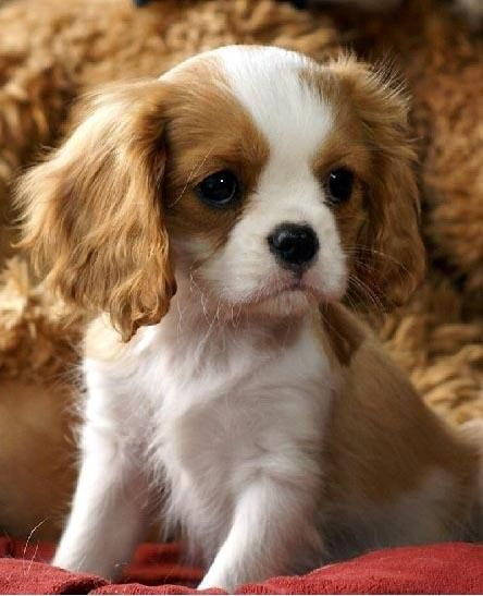 These marvelous male and female Cavalier King Charles puppies