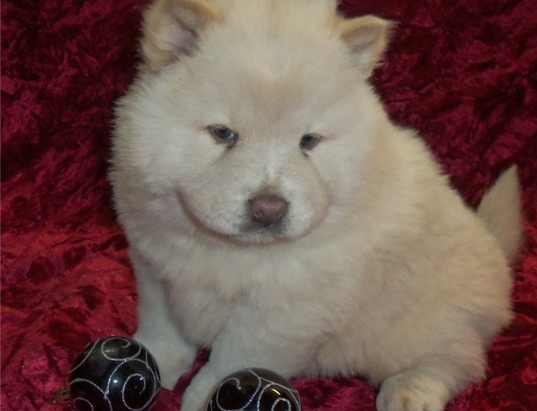 Affectionate Chow Chow Puppies